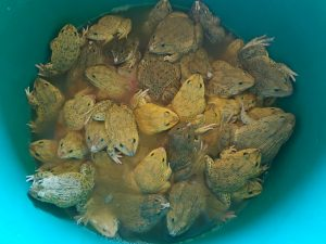 Life frogs bought to be released